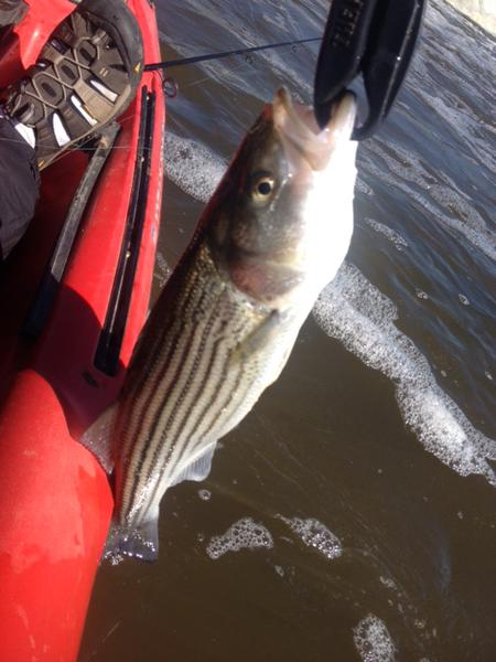 Click image for larger version.  Name:4-17striper.jpg Views:89 Size:39.6 KB ID:93617